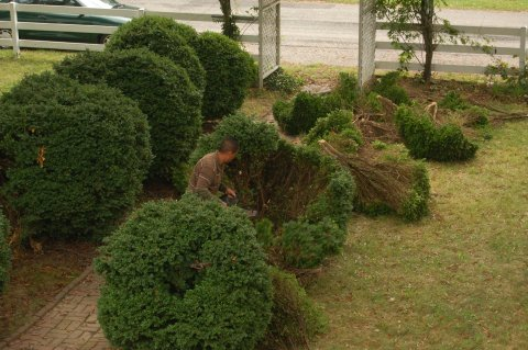 Boxwoods are not match for a chainsaw